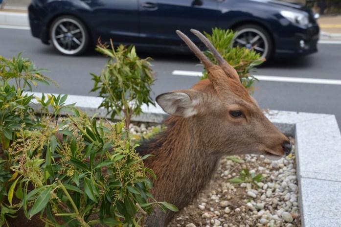 Deer, Nara, Japan
