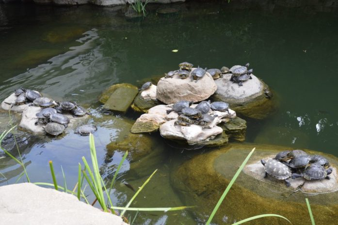 Terrapins in Hong Kong Park