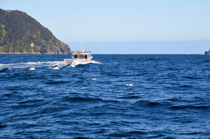 Albatross flying towards the Tasman Sea, New Zealand