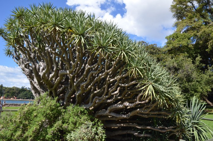 Dracaena draco tree, Royal Botanic Gardens, Sydney, Australia
