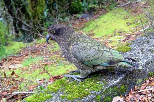 Kea birdl at Milford Sound New Zealand