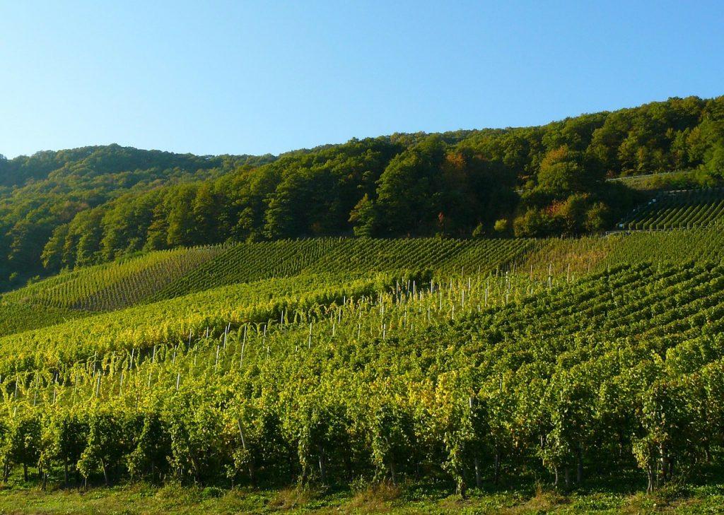 Deutsche Weinstraße Weinreben