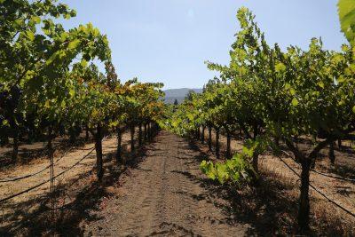 Urlaub beim Winzer Weinreben