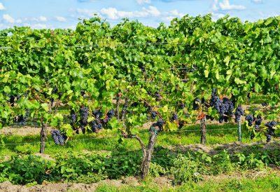 Urlaub beim Winzer Weinstöcke