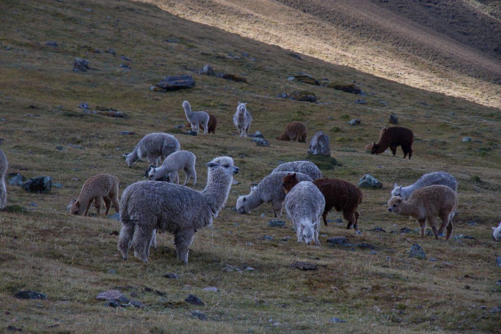 Auch in Peru zuhause: Alpacas