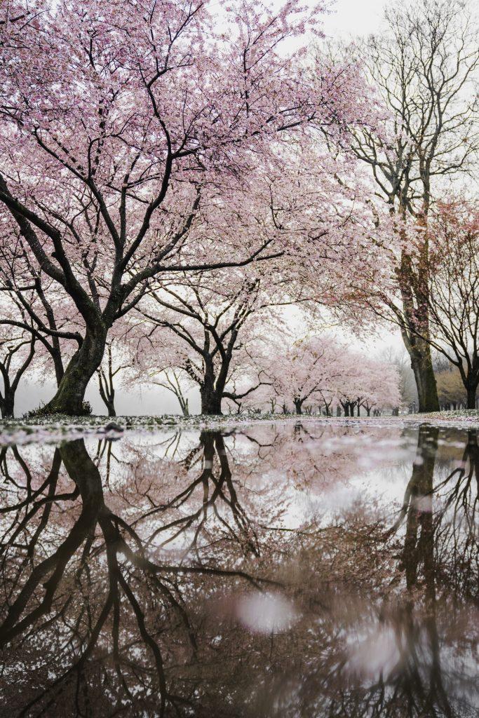 Hanami-Kirschblüte