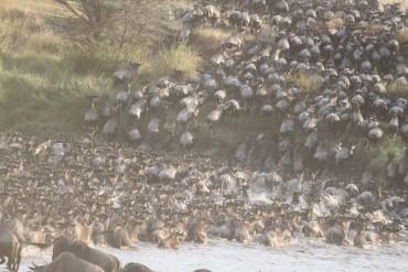Kenia, Masai Mara – Wielka migracja zwierząt – właśnie trwa!