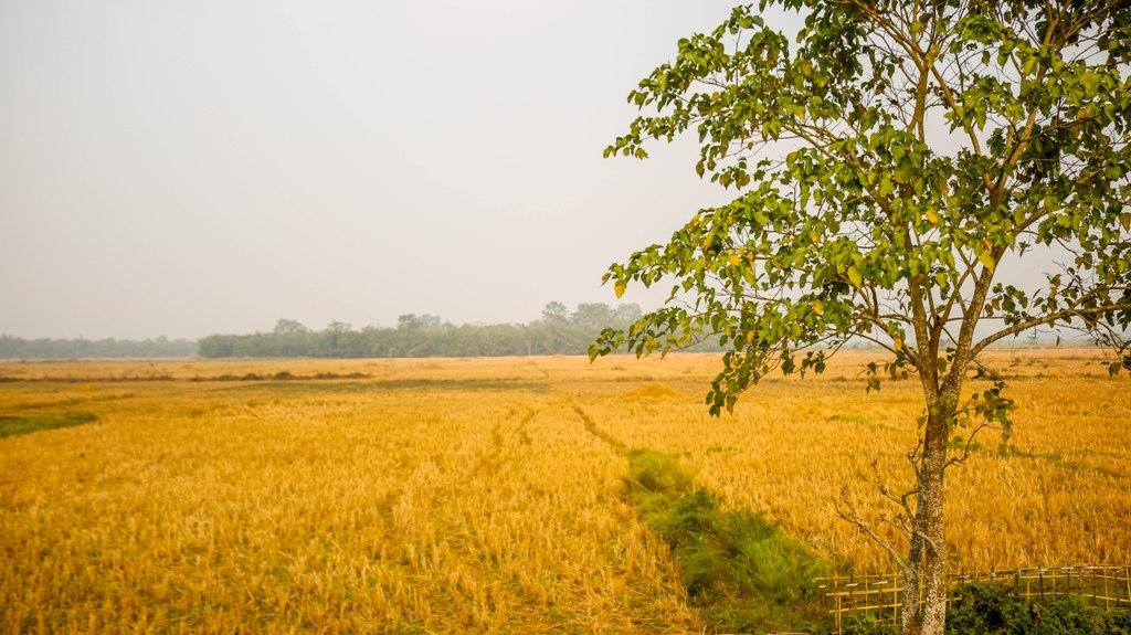 Rice Field after harvesting in sikom village