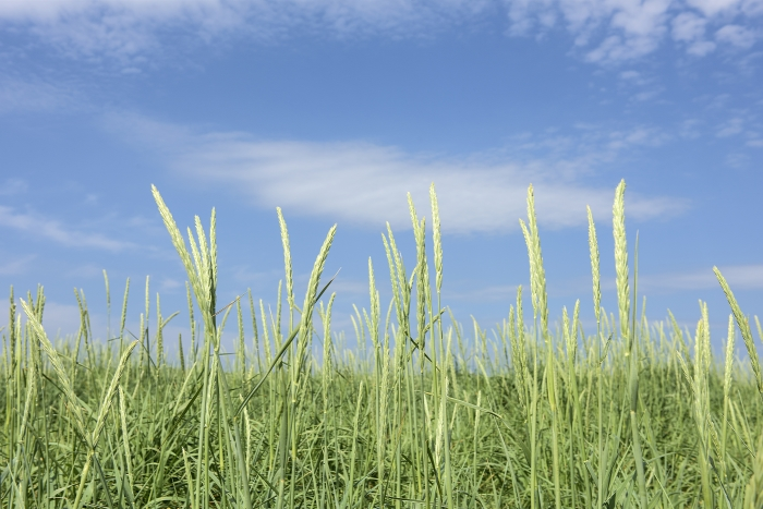 View of grass and sky near the Scapa Distillery on Orkney in Scotland