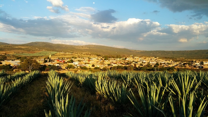 Agaves growing in Tequila, Mexico