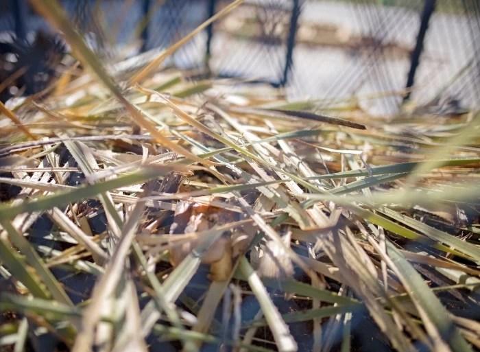 Desert-Door-Texas-Sotol-Desert Spoon Plant after harvest