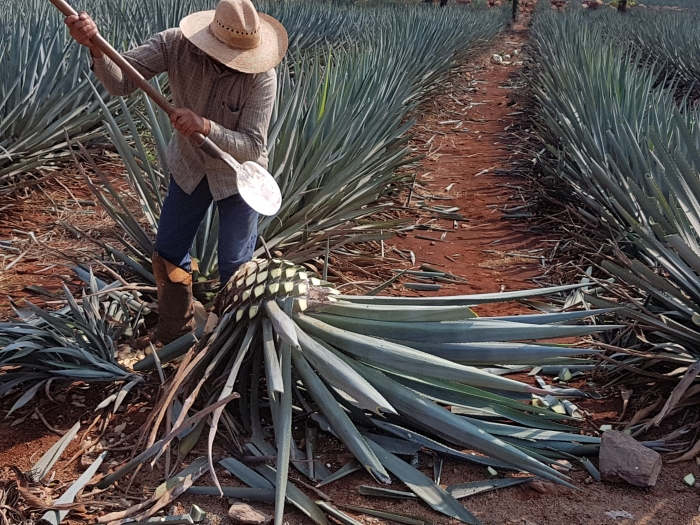 A Jimador at work in the agave fields at the El Tesoro tequila distillery in Jalisco, Mexico.