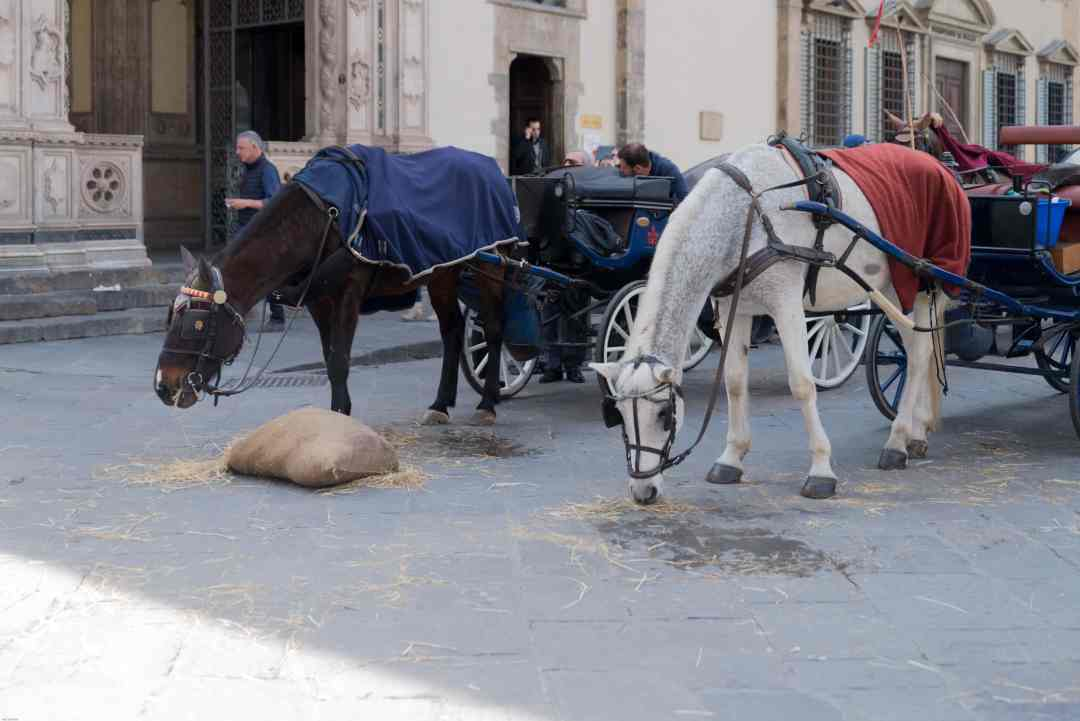 Horses in Florence Italy