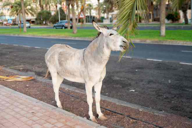 Majorera donkey in Morro Jable Fuerteventura spain