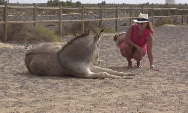 Majorera donkeys  of Fuerteventura,Spain.  An endangered breed