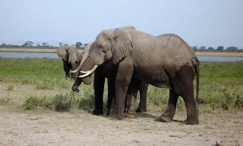 Kenya Safari Destinations - Amboseli National Park Elephants
