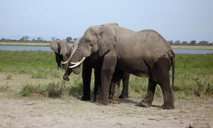 Amboseli National Park Elephants