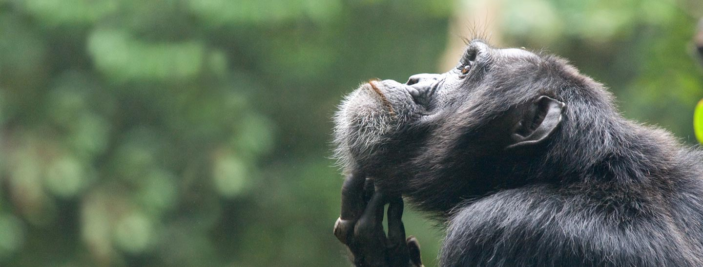 Chimp Trekking in Kibale Forest, Uganda Gorilla Trekking Safari