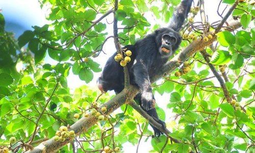 Kibale National Park Chimpnanzees