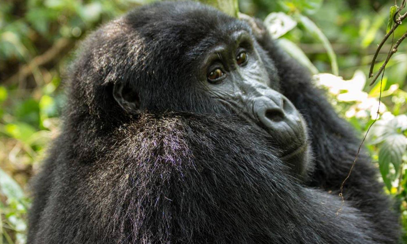Uganda Gorilla Trekking - Chimp Tracking