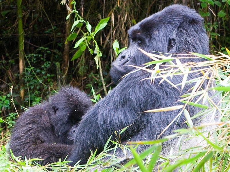 Rwanda tour destinations - Rwanda primates and wildlife adventure - Rwanda Safaris - Rwanda gorilla Safaris