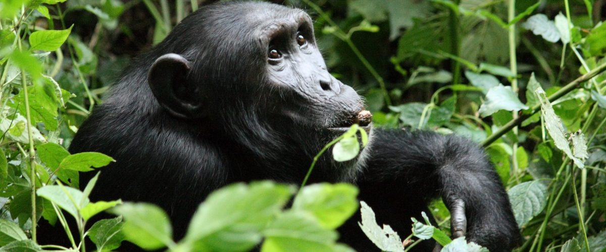 Primates of Uganda Safari - Chimp habituation Kibale