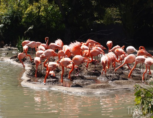 San Diego Zoo - Flamingos