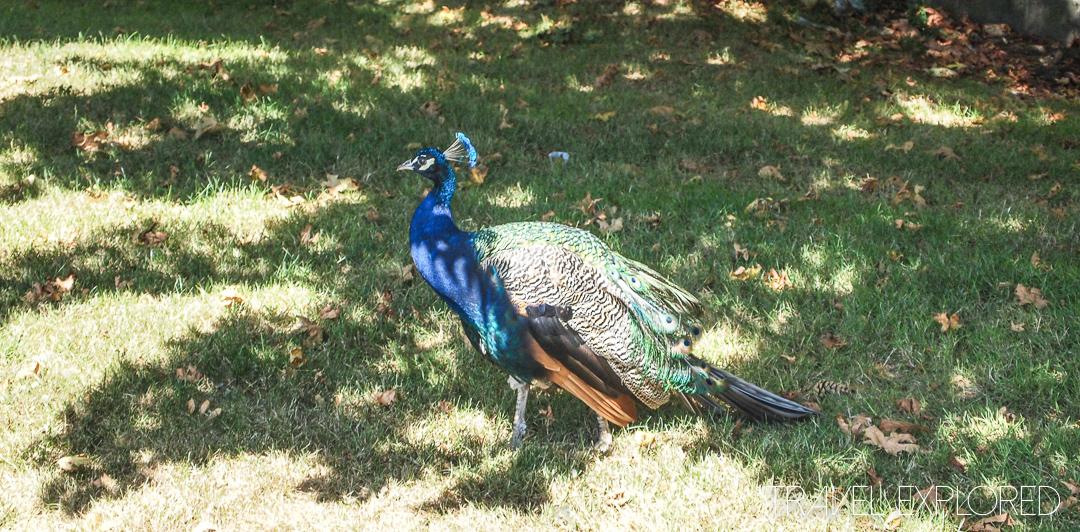 Victoria - Peacock