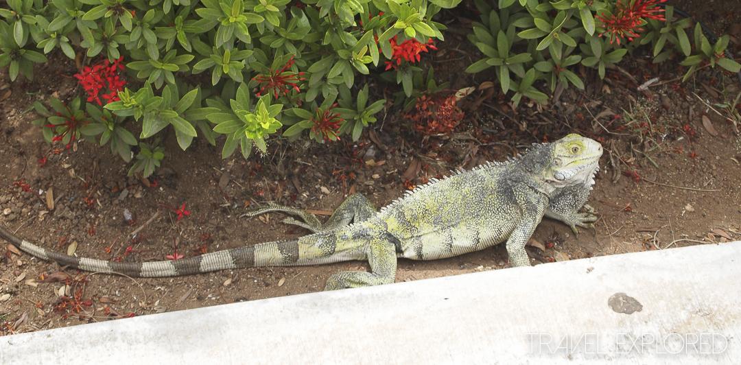 Oranjestad - Aruba - Wildlife