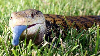Reptile expo horoscope: Aries - Indonesian blue tongue skink