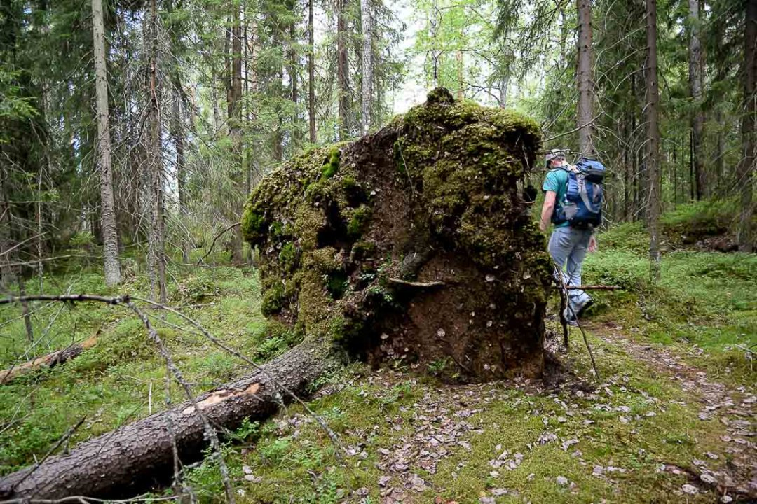 Backpacker hiking in the forest in Finland, walking past a fallen tree