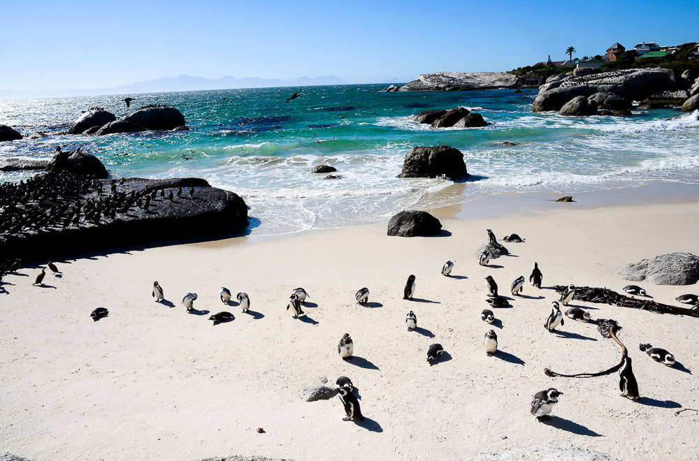 african penguins near the ocean