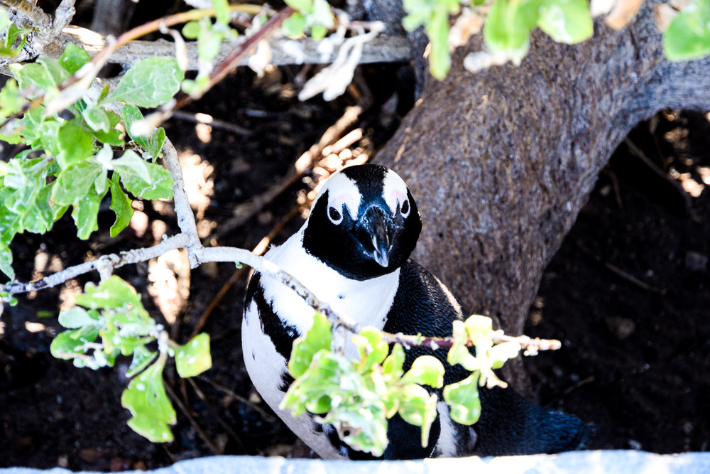 african penguin boulders beach