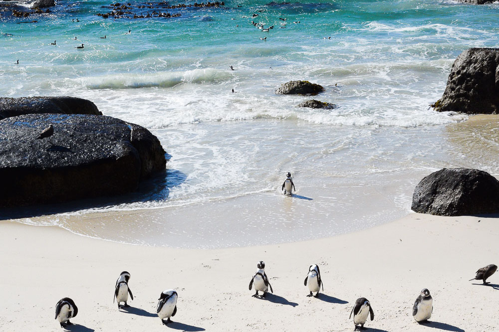little penguins in simon's town