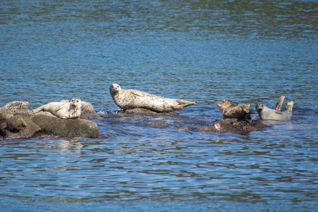 4 seals sun baking on rocks just out of the waters surface