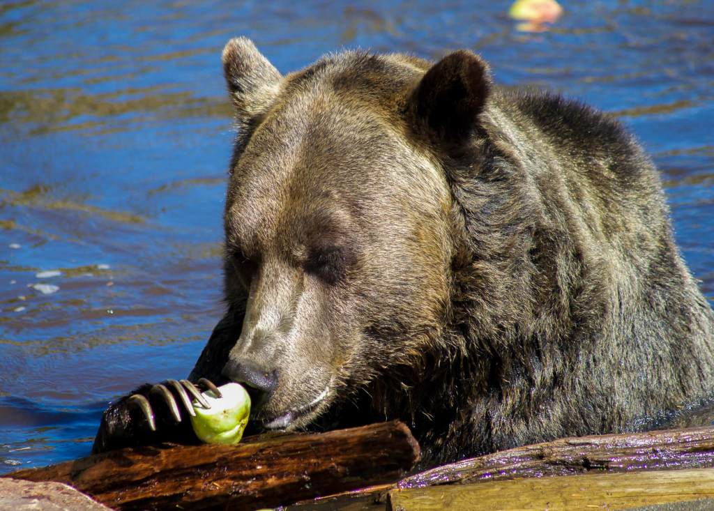 A grizzly bear sitting in the water eating an apple