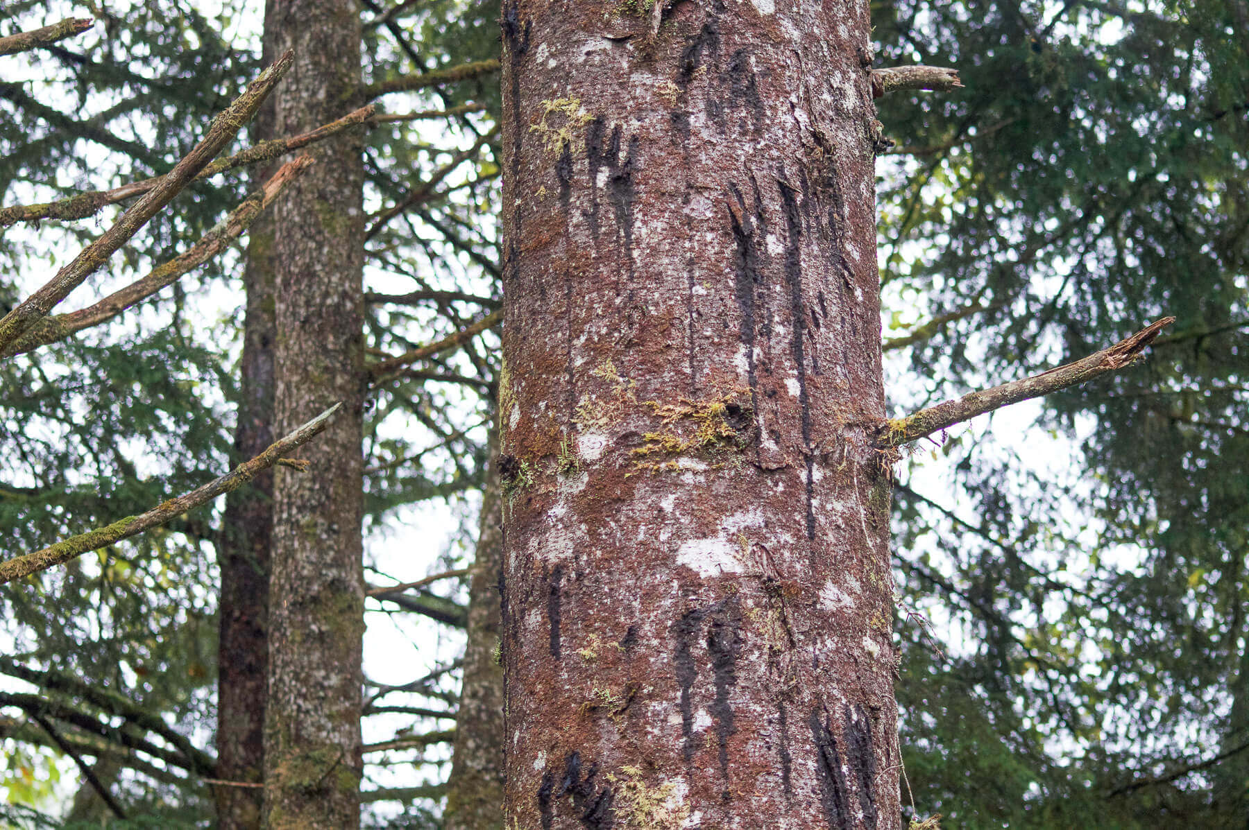 The scratches of a black bear on a tree in Alaska