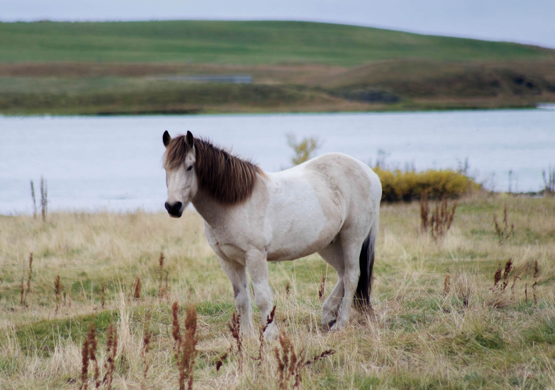 A patchy Icelandic pony standing in a field near a lake