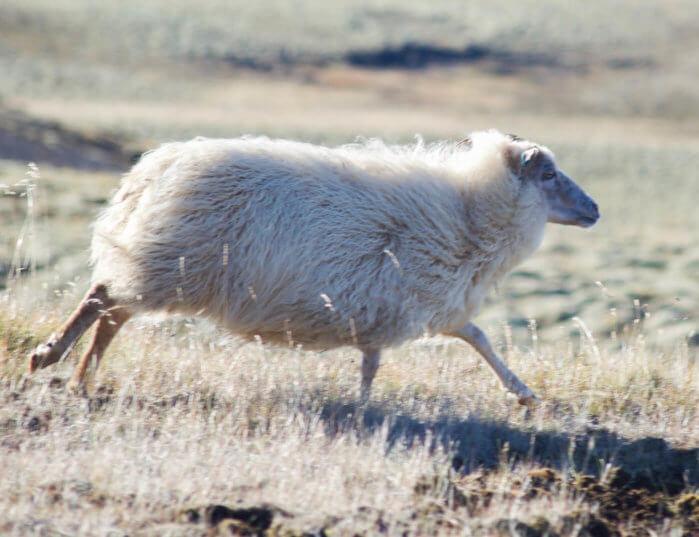 ANIMALS OF ICELAND