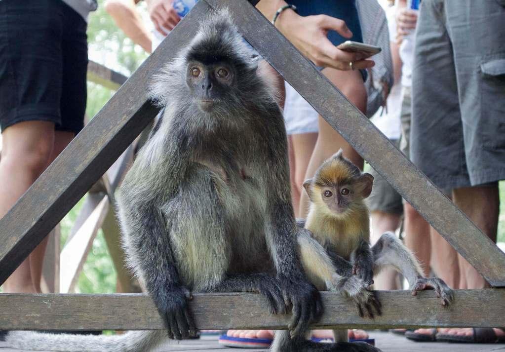 Silver leaf monkey and baby on a verandah