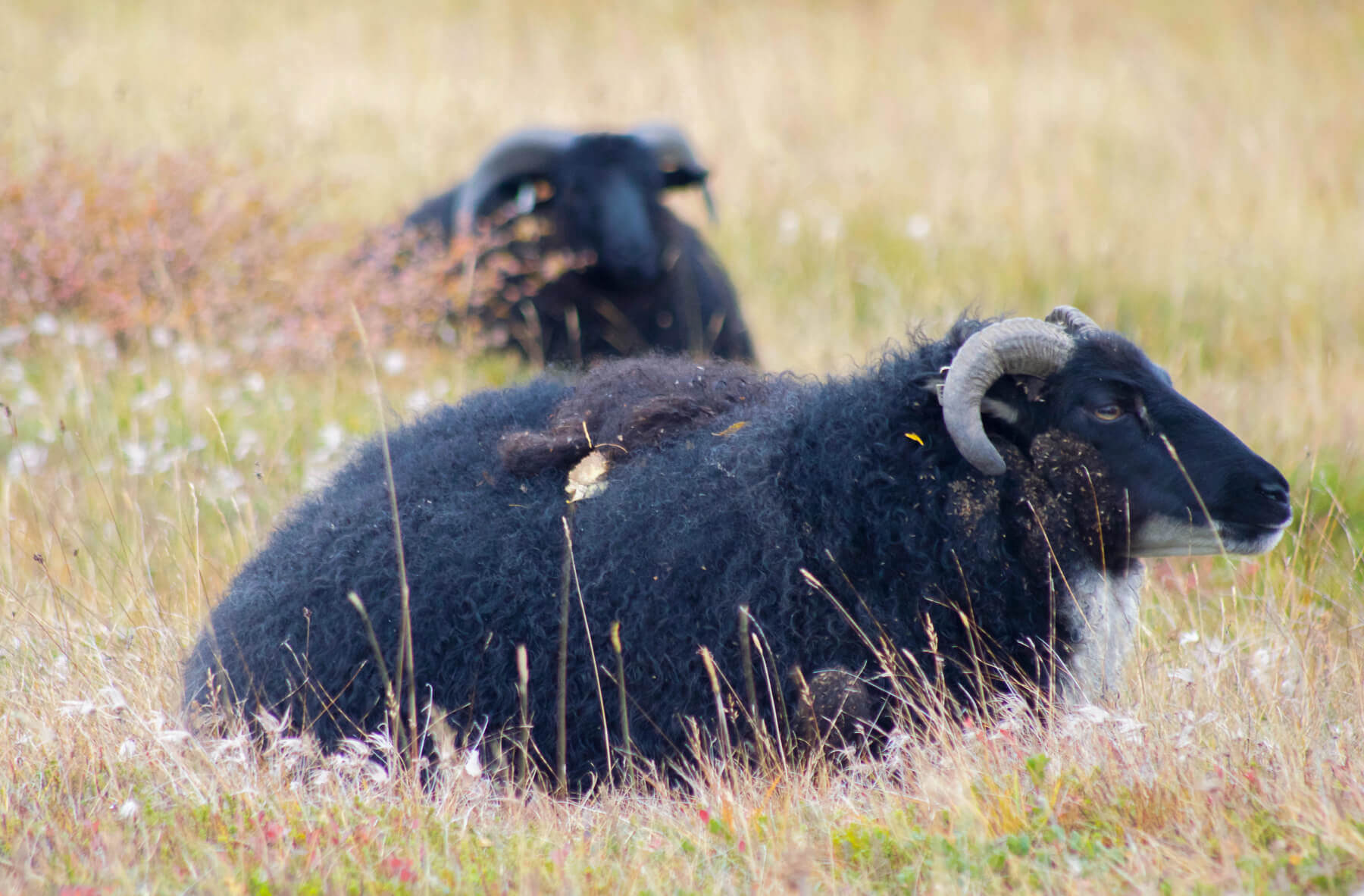 two black sheep sitting in the grass