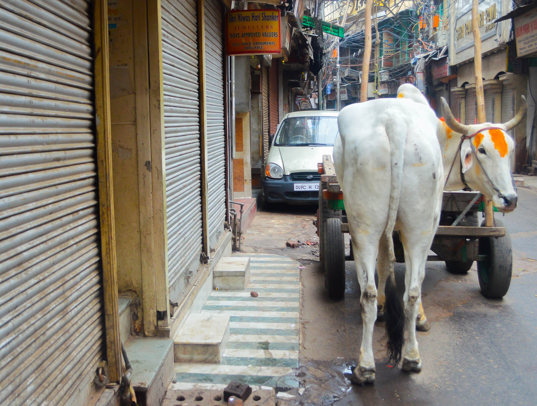 Sacred cow in street of Old Delhi