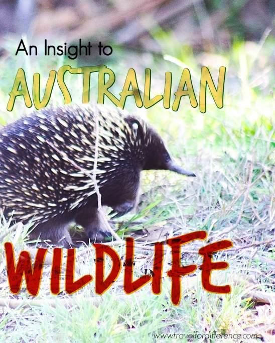 Echidna walking through the grass with text overlay - An Insight to Australian Wildlife