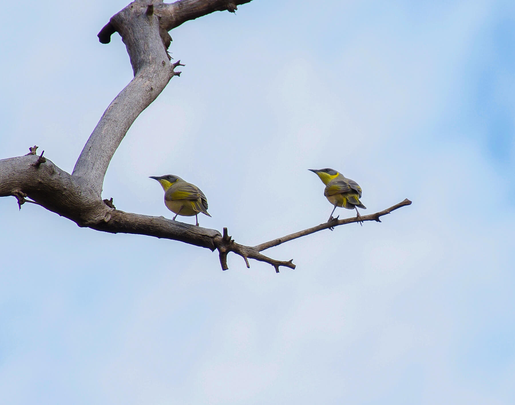 2 yellow finches sitting on branch