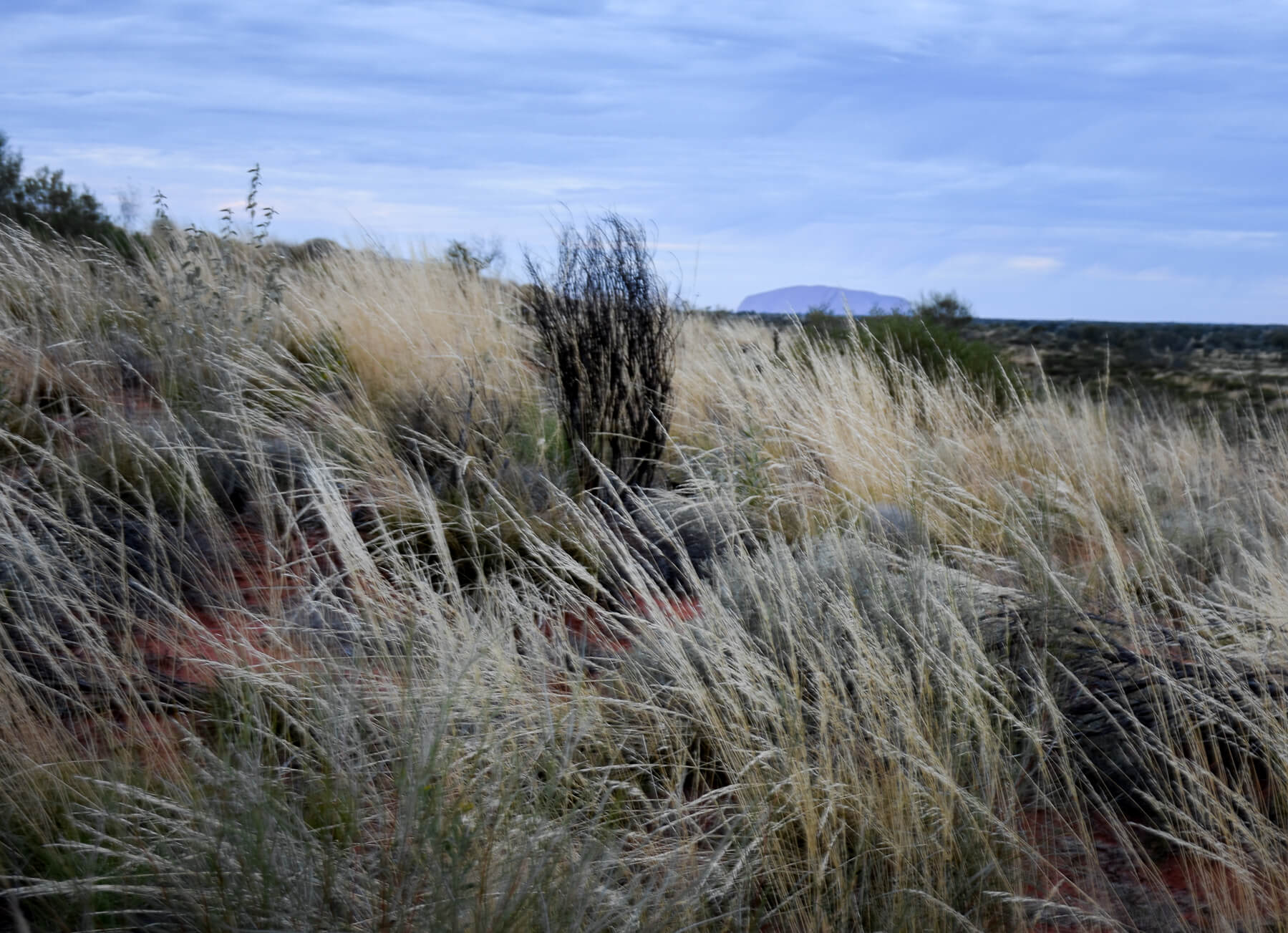 A hill covered in Spinifex Grass with Uluru in the back ground