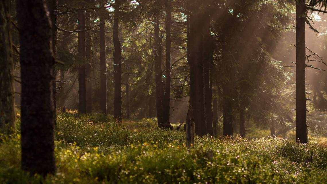 Trees trunks in a forest surrounded by shrubbery and a sultry sun beam of Light through the trees