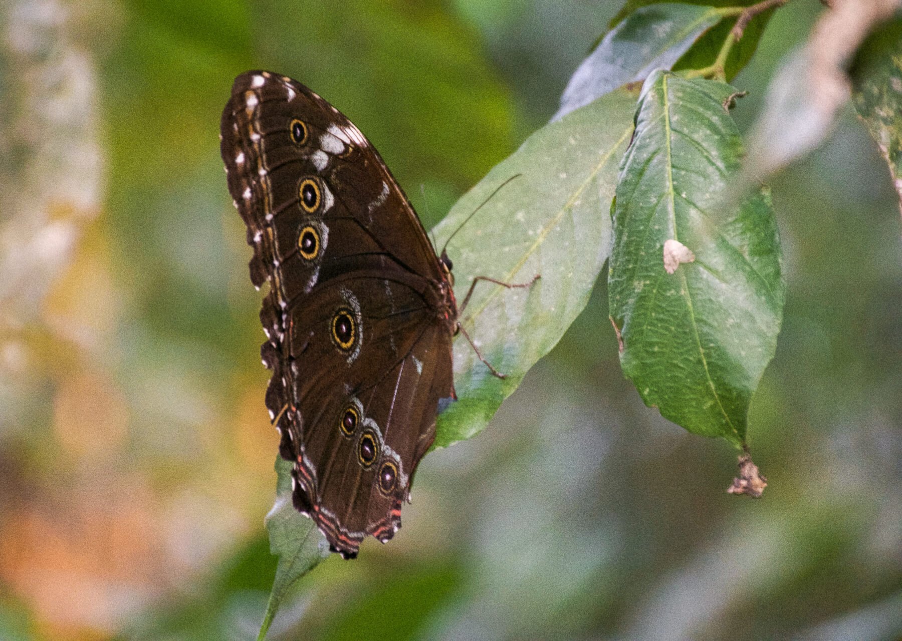 A brown butterfly with yellow wings perched on a leaf in the Amazon