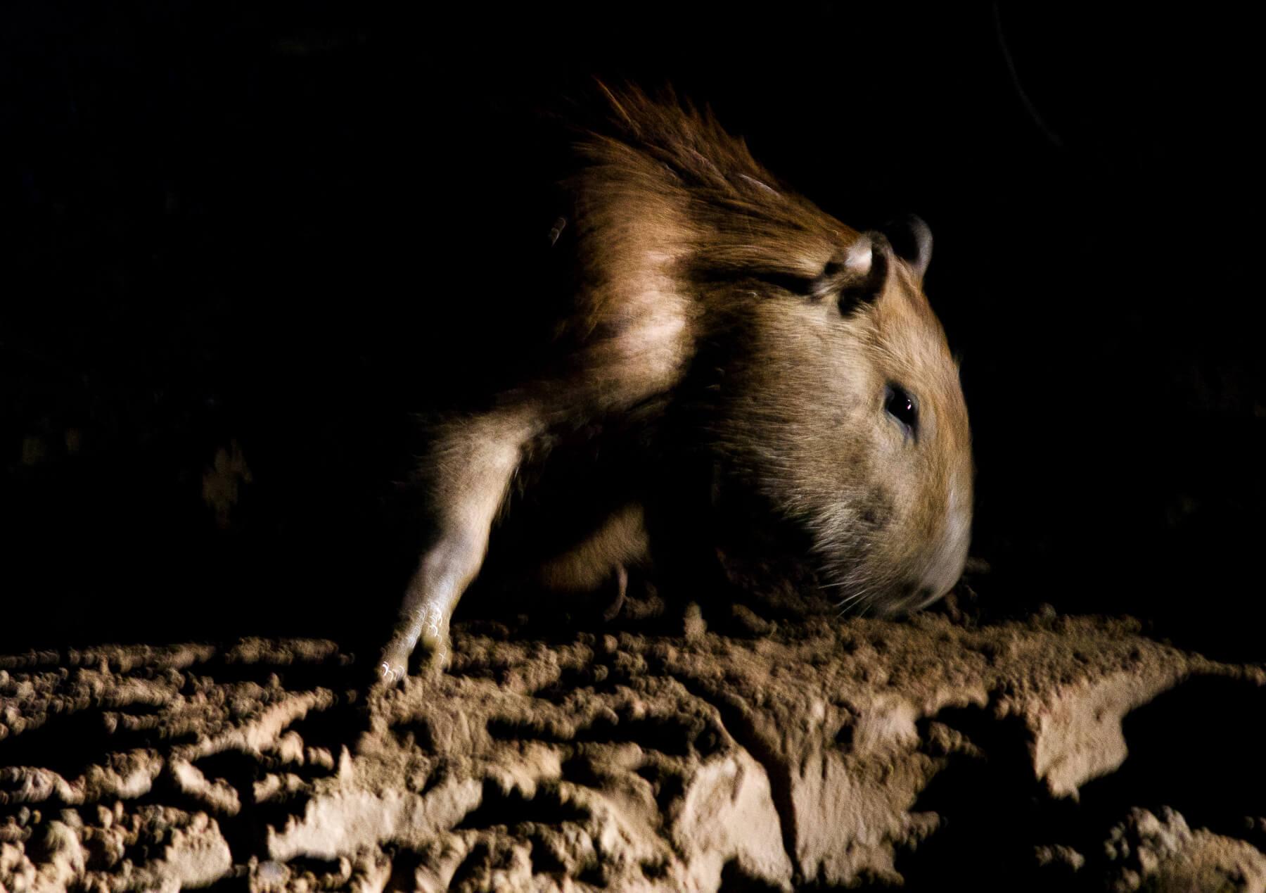 Capybara sniffing ground during night in Amazon