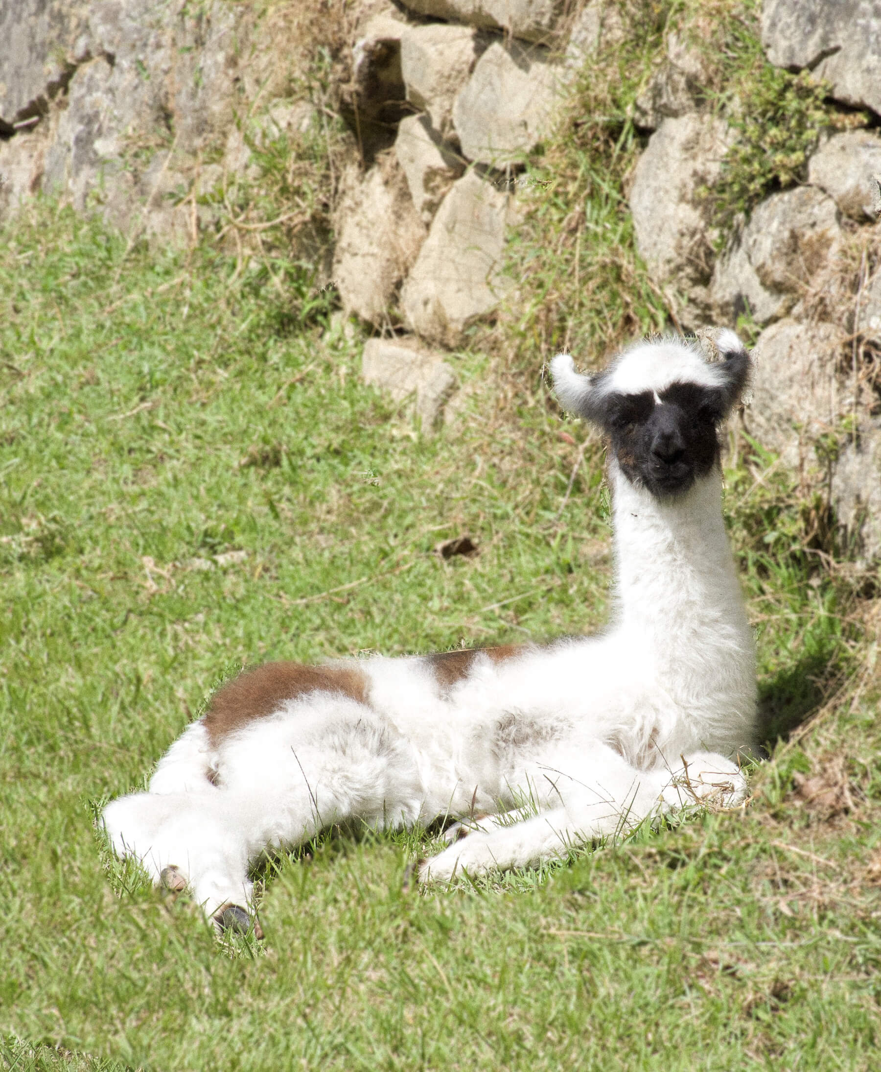 A white baby llama with a black face and brown patches on its back - looking at the camera while eating some grass and relaxing
