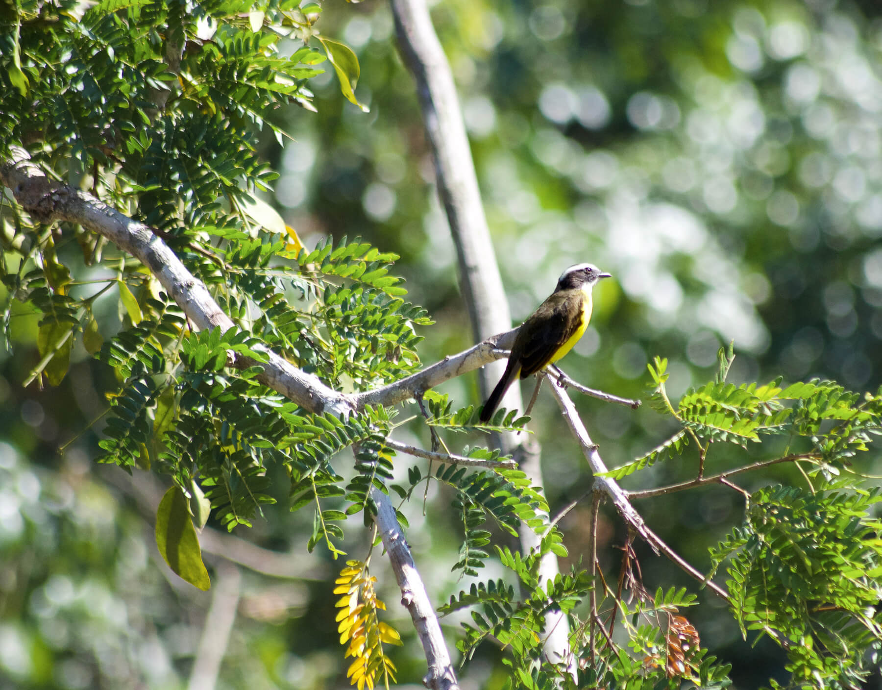A beautiful yellow and black bird perched on a branch in the Peruvian Amazon